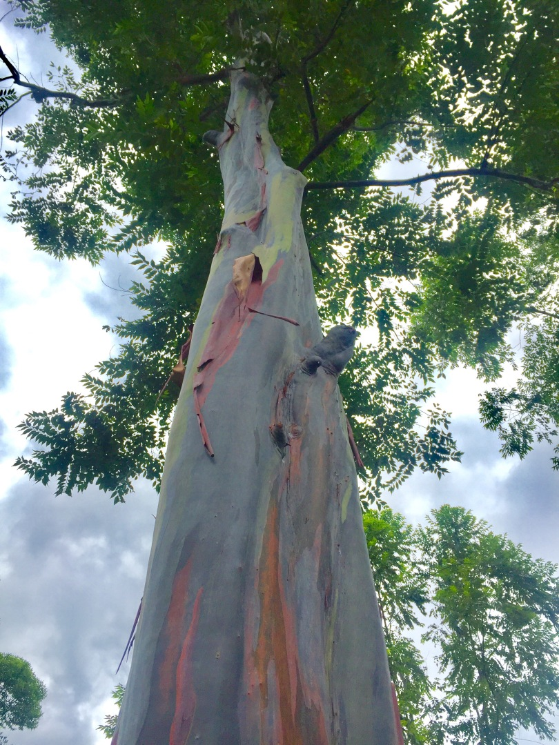 Rainbow Tree Is Real, and It\'s in the Philippines – The Curious Cola